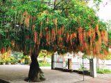 Lộc vừng, cây phát tài phát lộc nhà nào cũng nên trồng trong sân vườn