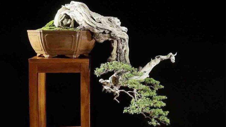 cây sanh phong thủy