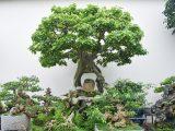 Trồng cây bồ đề trong sân vườn có hợp phong thủy?